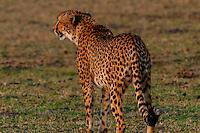 Cheetah, Okavango Delta, Botswana.