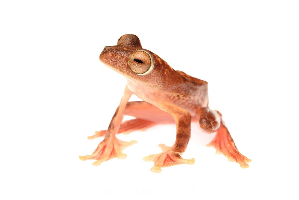 Harlequin Gliding Frog (Rhacophorus pardalis). Sarawak, Malaysia (Borneo).