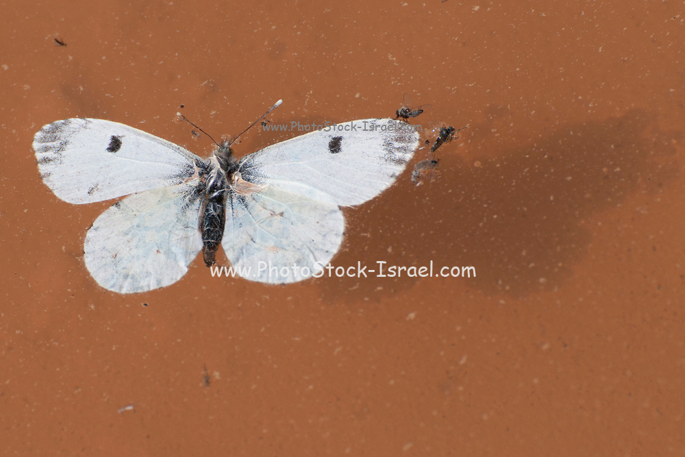 a dead Large White or Cabbage White (Pieris brassicae) Butterfly floats in a water puddle