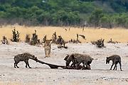 Hyeanas, Crocuta crocuta, with a carcass, stolen to a lioness, Panthera leo.