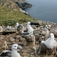 Fledgling Black-Browed Albatrosses nest in a rookery called the Devil's Nose on West Point Island in Britain's Falkland Islands.