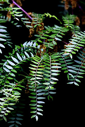 03 June 2008: green leaves appear to be a fern but are from a locust tree.