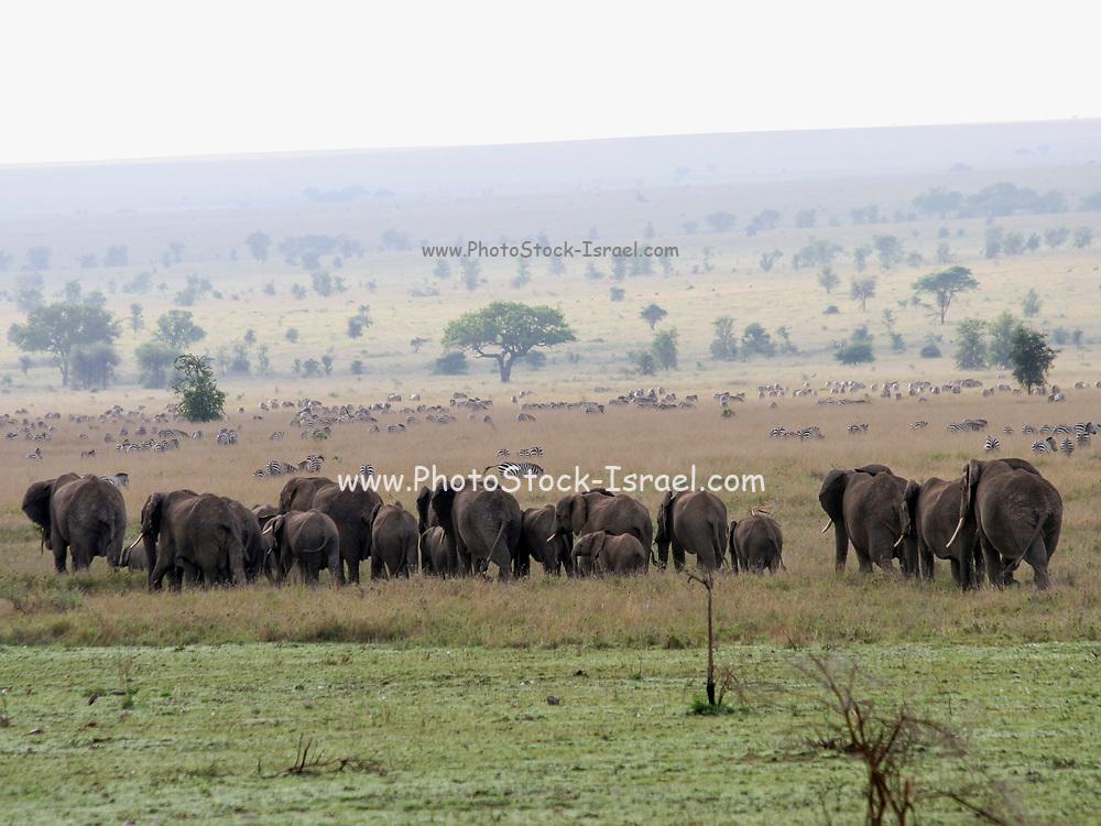 Africa, Tanzania, Serengeti National Park A herd of African Bush Elephant (Loxodonta africana)