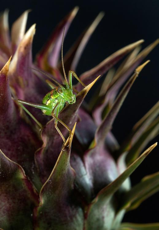 bush-cricket (Metrioptera roeseli)  on a Cynara humilis, Southwest Alentejo and Vicentine Coast Natural Park, Portugal