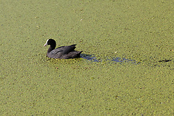 © Licensed to London News Pictures. 01/07/2018. London, UK.  A coot swims through duck weed in Limehouse Basin in east London which has turned green following the rapid growth of duck weed which has grown so fast because of the ideal combination of heat in agitated but slow-moving water. Photo credit: Vickie Flores/LNP