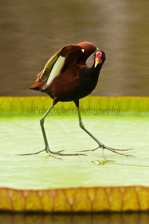 Wattled Jacana (Jacana jacana)<br /> on giant lilly Showing spurs<br /> Savannah<br /> Rupununi<br /> GUYANA. South America<br /> RANGE: Panama and Trinidad south through most of South America east of the Andes.