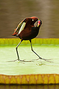 Wattled Jacana (Jacana jacana)<br />