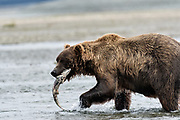 at the McNeil River State Game Sanctuary on the Kenai Peninsula, Alaska. The remote site is accessed only with a special permit and is the world's largest seasonal population of brown bears