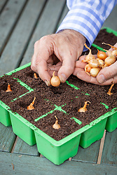 Planting onion sets in a module tray. Allium cepa