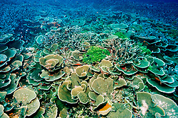 colonies of leaf coral, Turbinaria reniformis, and staghorn coral, Acropora sp. Paradise Pinnacle, Biak Island, West Papua, Indonesia, Pacific Ocean