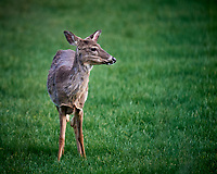 Young Doe with plenty of fresh green grass to forage. Image taken with a Nikon D5 camera and 600 mm f/4 VR lens (ISO 1250, 600 mm, f/4, 1/1250 sec)