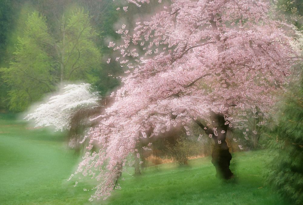 Cherry tree, Washington Park Arboretum, Seattle, Washington, USA