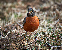 American Robin. Image taken with a Nikon Df camera and 600 mm f/4 VR lens (ISO 100, 600 mm, f/4, 1/400 sec).