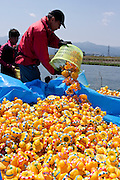 Festival officials collect the fifteen thousand ducks by the finish line at Kenraku Fureai Hiroba during The Ashigara River festival, Kintaro duck-race in Matsuda, Kanagawa, Japan April 25th 2010