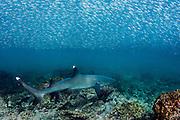 White-Tipped Reef Shark (Triaenodon obesus) With Juvenile Grunts (Haemulidae)<br /> <br /> Galapagos<br /> Ecuador<br /> South America