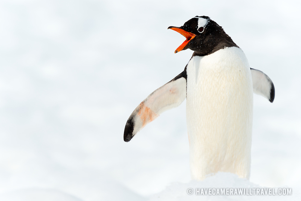 A Gentoo penguin (Pygoscelis papua) squawks while standing on the clean white snow at Neko Harbour on the Antarctic Peninsula.