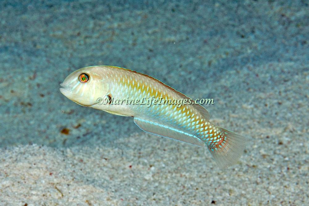 Rosy Razorfish inhabit sandy areas often adjacent sea grass beds in Tropical West Atlantic; picture taken Little Cayman.