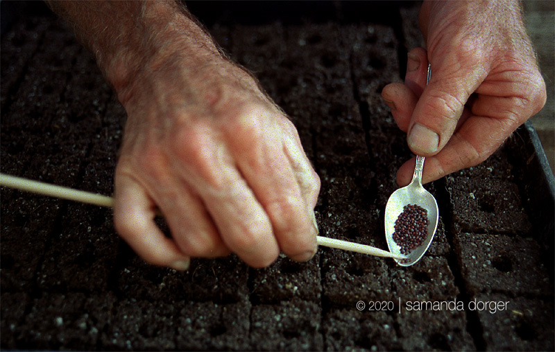 Noble meticulously drops turnip seeds one by one into the soil blocks that will nurture the seedlings until they are planted into the garden.