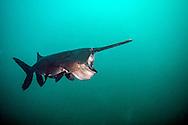 Paddlefish (feeding)<br /> <br /> Jennifer Idol/Engbretson Underwater Photography