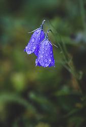 THEMENBILD - eine lila Glockenblume besetzt mit Wassertropfen, aufgenommen am 10. August 2018, Kaprun, Österreich // a purple bellflower with water drops on 2018/08/10, Kaprun, Austria. EXPA Pictures © 2018, PhotoCredit: EXPA/ Stefanie Oberhauser