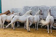 Anderlecht Belgium 2017 September 12. Ter ere van de heilige Sint Guido wordt in Anderlecht de Jaarmarkt gehouden. De jaarlijks processie bestaat niet meer, maar er wordt wel een mis gehouden. En de dierenmarkt, met paarden, ponies stieren en koeien bestaat ook nog steeds.Paard rekt zich uit