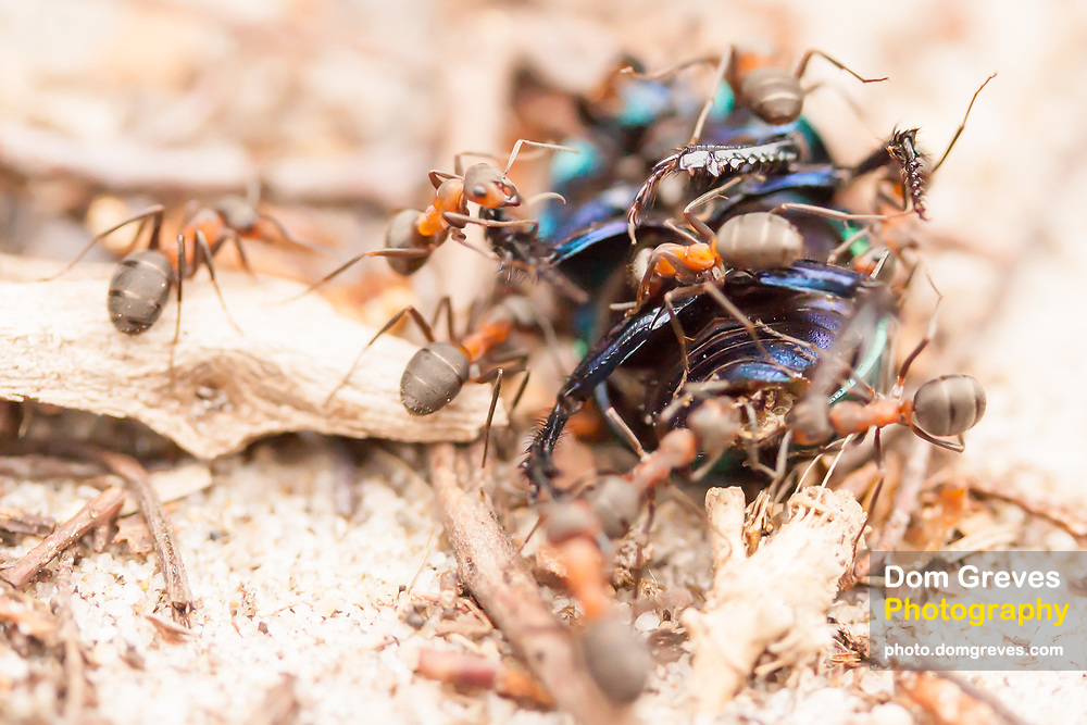 Wood ants attack the body of a dead beetle. Dorset, UK.