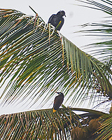 Black Vulture (Coragyps atratus) and Montezuma Oropendola (Psarocolius montezuma). Semester at Sea Field Trip. Limon, Costa Rica. Image taken with a Nikon D3s camera and 70-300 mm VR lens