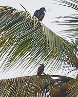 Black Vulture (Coragyps atratus) and Montezuma Oropendola (Psarocolius montezuma). Semester at Sea Field Trip. Limon, Costa Rica. Image taken with a Nikon D3s camera and 70-300 mm VR lens