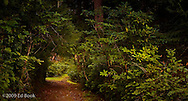 A trail passes through a forest canapy on the Kitsap Peninsula in Puget Sound, WA, USA
