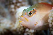Paracirrhites arcatus (Arc Eye Hawkfish)