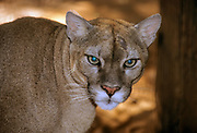 The cougar (Puma concolor) is a large cat of the subfamily Felinae. Native to the Americas, its range spans from the Canadian Yukon to the southern Andes in South America and is the most widespread of any large wild terrestrial mammal in the Western Hemisphere. It is an adaptable, generalist species, occurring in most American habitat types. Due to its wide range, it has many names, including mountain lion, puma, catamount, panther and painter.