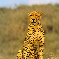 Cheetah scouting for prey in the Serengeti National Park in Tanzania.