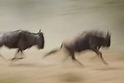 Running wildebeests, migration,  Serengeti National Park, Tanzania.