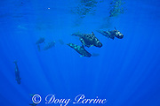 pod of adult and juvenile short-finned pilot whales, Globicephala macrorhynchus, swimming through open ocean, Kona, Hawaii ( the Big Island ), U.S.A. ( Central Pacific Ocean )