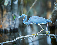 Tricolored Heron perched on a branch in Big Cypress Swamp. Image taken with a Nikon Df camera and 400 mm f2.8 lens (ISO 800, 400 mm, f/4, 1/200 sec).