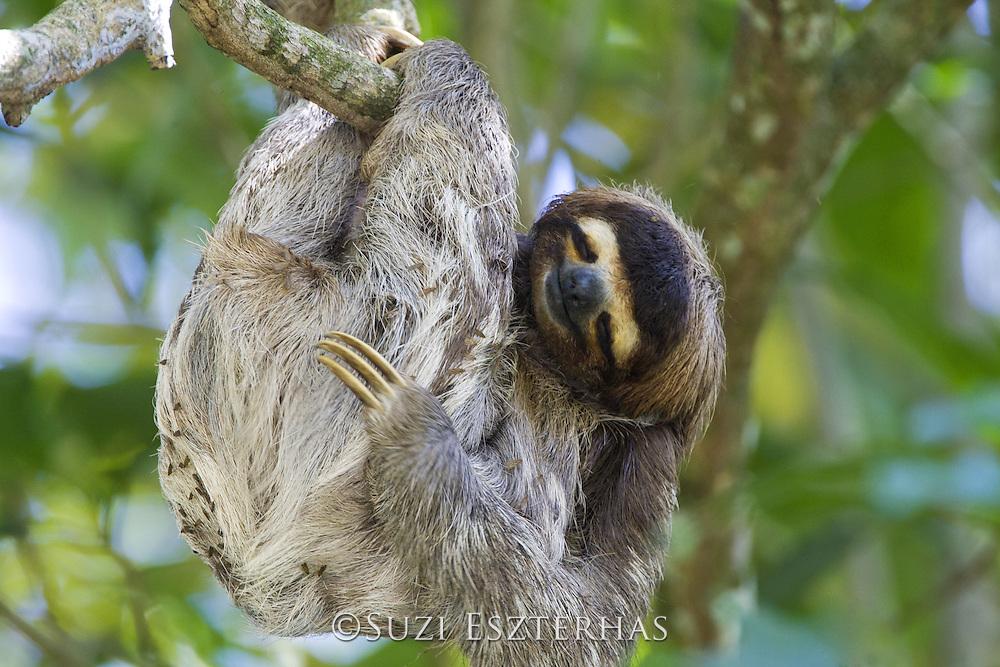 Brown-throated Three-toed Sloth <br /> Bradypus variegatus<br /> Limon, Costa Rica