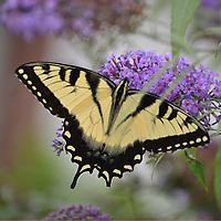 Eastern Tiger Swallowtail on butterfly bush.