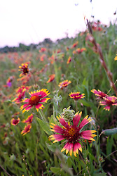 Firewheels and other wildflowers, Big Spring historical and natural area, Great Trinity Forest, Dallas, Texas, USA