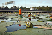 Union Bay, Oasis, book, kingfishers, green heron, eat fish, lily insects, bottle, grebe, eggs, bugs, bus, bridge, car window smash