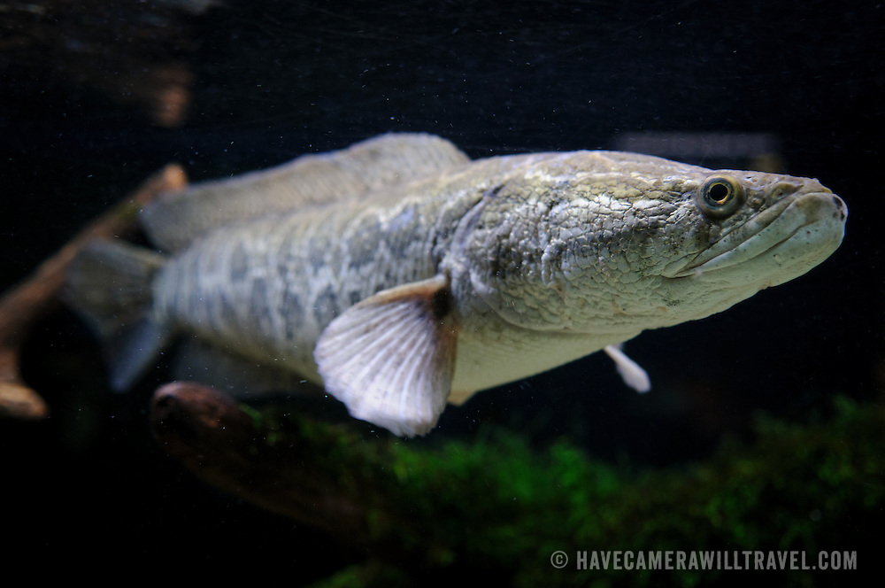 Introduced from China, the snakehead fish has disrupted native fish and marine animals of the Central Atlantic region, particularly in the Potomac. This specimen is on display in a tank in the National Aquarium in the Department of Commerce building in downtown Washington DC. The National Aquarium is in the basement of the Department of Commerce Building, where it has been housed since 1932. Much smaller and less well known than its affiliated facility in Baltimore, Washington's National Aquarium consists of a series of tanks illustrated various types of marine environments, with special emphasis on the many marine sanctuaries in U.S. marine territory.. Please note that at full size scratches are visible on the tank's glass.