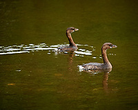 Pair of Pied Grebes. Black Point Wildlife Drive, Merritt Island National Wildlife Refuge. Image taken with a Nikon Df camera and 300 mm f/4 lens (ISO 1100, 300 mm, f/4, 1/1250 sec).