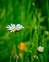 Daisy. Image taken with a Fuji X-T2 camera and 100-400 mm OIS lens.