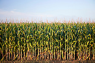 Corn growing in Arkansas for food and fuel.