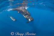 long-finned pilot whales, Globicephala melas, two adults, a juvenile, and a small calf, Straits of Gibraltar ( North Atlantic )