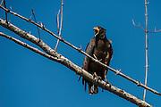 Rufous Crab Hawk (Buteogallus aequinoctialis)<br /> Mahaica River<br /> GUYANA<br /> South America