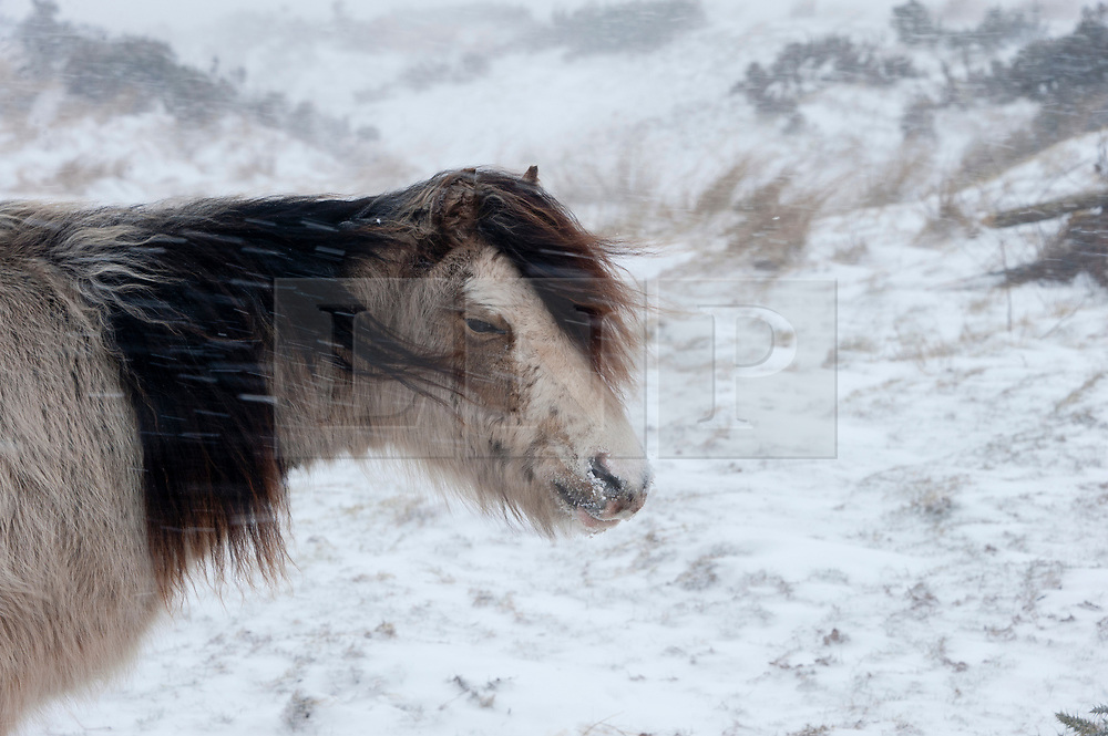 © Licensed to London News Pictures. 1/03/2018. Builth Wells, Powys, Wales, UK. On the first day of Spring, Welsh Mountain Ponies huddle together and put their backs to the near gale force wind in horrendous blizzard conditions on the high moorland of the Mynydd Epynt range. Blizzards and temperatures around minus 5-7 degrees Centigrade with 'feels like' of approximately minus 10 degrees on high land hit Mid Wales last night and today Photo credit: Graham M. Lawrence/LNP