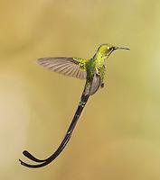 Male black-tailed trainbearer hummingbird, Lesbia victoriae, near Nono, Ecuador