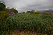 """An ancient field with crops in the old Hellenic city of Polyrinia, Crete. The place name means """"many sheep"""" and it was the most fortified city in ancient Crete. ancient Hellenic city of Polyrinia, Crete. The place name means """"many sheep"""" and it was the most fortified city in ancient Crete."""