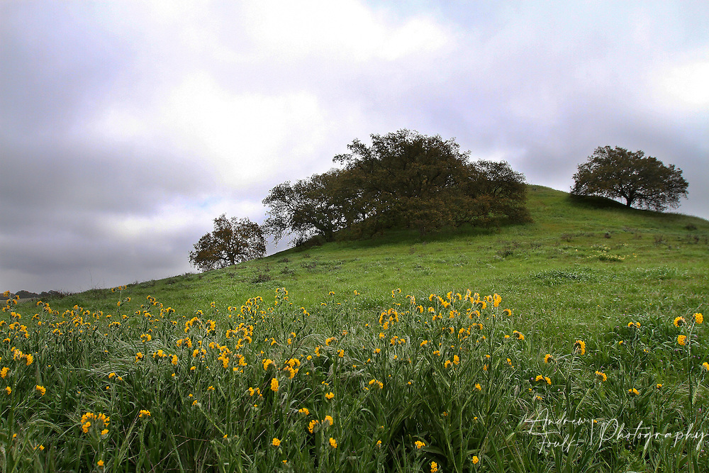 Photo by www.andrewfoulkphotography.com A small patch of fiddleneck flowers grow at the base of Poppy Hill at the Santa Rosa Plateau Ecological Reserve. With minimal rain fall this year the wildflower bloom on the plateau is expected to be smaller than past years.