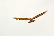 Short-toed Snake Eagle (Circaetus gallicus) in flight. This bird of prey is found throughout the Mediterranean basin, Russia and the Middle East, and parts of Asia. Photographed in israel in June